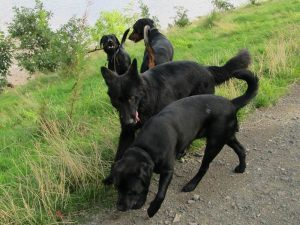 Dog walking dogs off lead